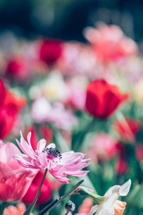 Beautiful spring tulipsの写真素材 [FYI01252590]