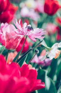 Beautiful spring tulipsの写真素材 [FYI01252591]
