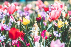 Beautiful spring tulipsの写真素材 [FYI01252592]