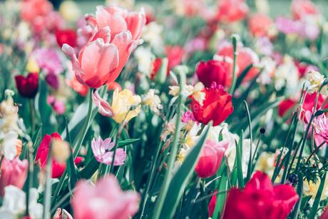 Beautiful spring tulipsの写真素材 [FYI01252593]