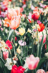 Beautiful spring tulipsの写真素材 [FYI01252594]