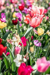 Beautiful spring tulipsの写真素材 [FYI01252595]