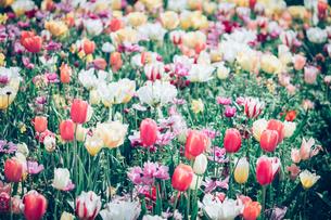 Beautiful spring tulipsの写真素材 [FYI01252597]