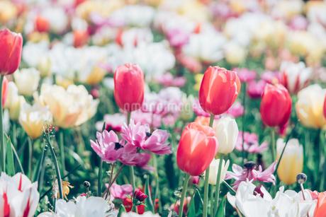 Beautiful spring tulipsの写真素材 [FYI01252598]