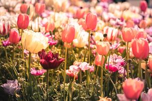 Beautiful spring tulipsの写真素材 [FYI01252599]