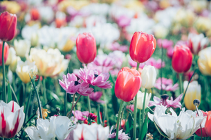 Beautiful spring tulipsの写真素材 [FYI01252600]