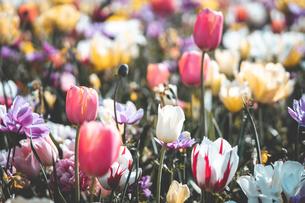 Beautiful spring tulipsの写真素材 [FYI01252601]