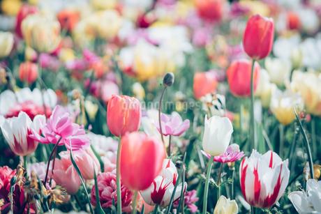 Beautiful spring tulipsの写真素材 [FYI01252602]