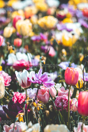 Beautiful spring tulipsの写真素材 [FYI01252603]