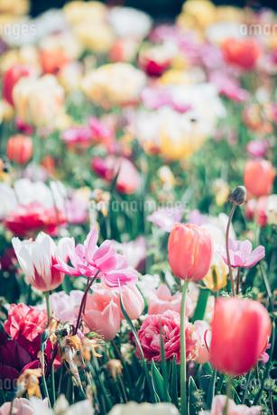 Beautiful spring tulipsの写真素材 [FYI01252604]