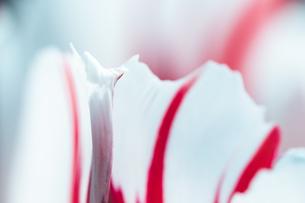 Beautiful spring tulipsの写真素材 [FYI01252608]