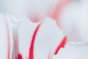 Beautiful spring tulipsの写真素材 [FYI01252609]