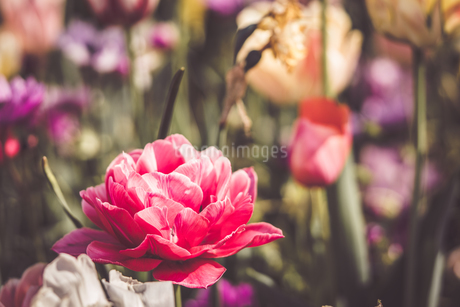 Beautiful spring tulipsの写真素材 [FYI01252610]