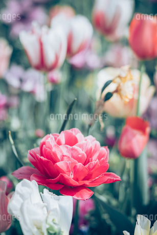 Beautiful spring tulipsの写真素材 [FYI01252611]