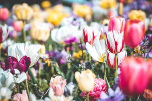 Beautiful spring tulipsの写真素材 [FYI01252613]