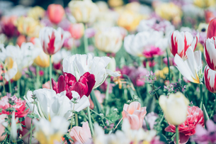 Beautiful spring tulipsの写真素材 [FYI01252614]