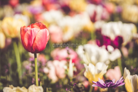 Beautiful spring tulipsの写真素材 [FYI01252615]