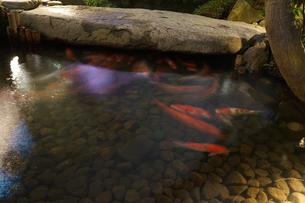 日本庭園を泳ぐ鯉のイメージの写真素材 [FYI01252694]