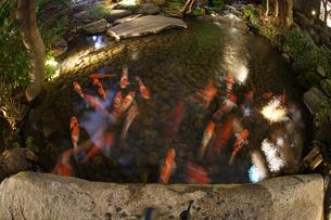 日本庭園を泳ぐ鯉のイメージの写真素材 [FYI01252695]