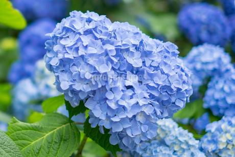 紫陽花の写真素材 [FYI01252793]