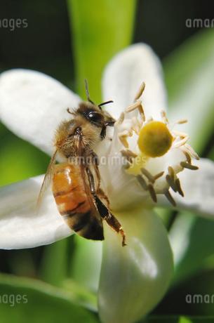 蜜を集める西洋ミツバチの写真素材 [FYI01252874]