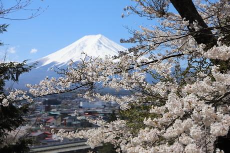 山梨県 新倉山浅間公園の風景 富士山と満開の桜の写真素材 [FYI01252930]