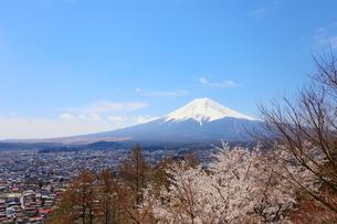 山梨県 新倉山浅間公園の風景 富士山と満開の桜の写真素材 [FYI01252935]
