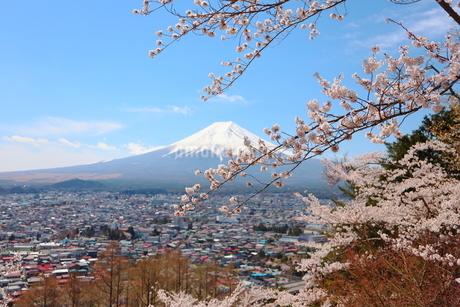 山梨県 新倉山浅間公園の風景 富士山と満開の桜の写真素材 [FYI01252937]