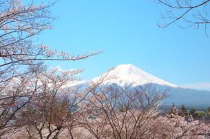 山梨県 新倉山浅間公園の風景 富士山と満開の桜の写真素材 [FYI01252942]