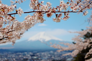 山梨県 新倉山浅間公園の風景 富士山と満開の桜の写真素材 [FYI01252956]