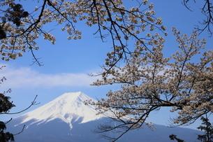 山梨県 新倉山浅間公園の風景 富士山と満開の桜の写真素材 [FYI01252957]