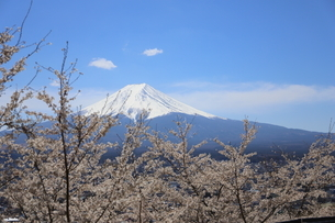山梨県 新倉山浅間公園の風景 富士山と満開の桜の写真素材 [FYI01252960]