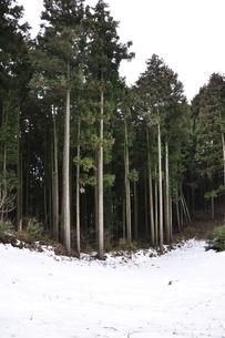 杉林の写真素材 [FYI01253181]