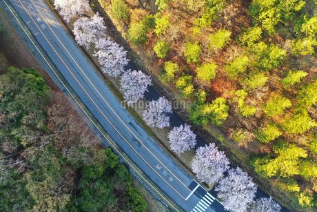 ドローンで撮影した桜並木の写真素材 [FYI01253199]