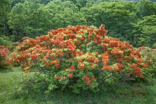 レンゲツツジ咲く赤城山の写真素材 [FYI01253214]