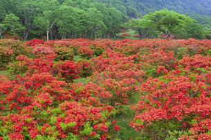 レンゲツツジ咲く赤城山の写真素材 [FYI01253215]