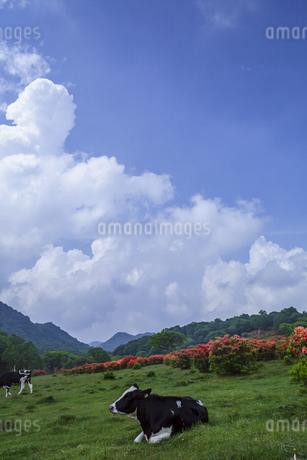 レンゲツツジ咲く赤城山と牛の写真素材 [FYI01253217]