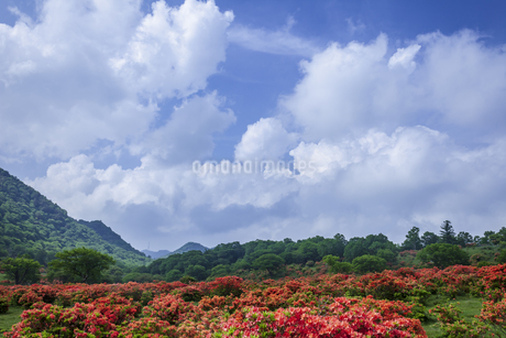 レンゲツツジ咲く赤城山の写真素材 [FYI01253219]