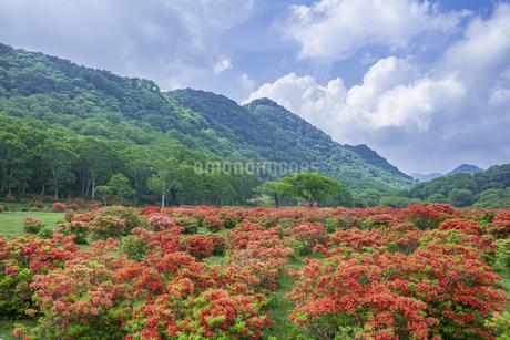 レンゲツツジ咲く赤城山の写真素材 [FYI01253220]