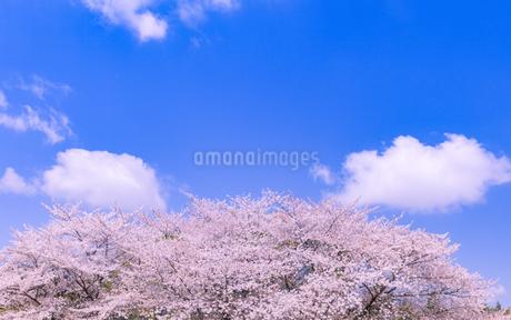 桜とわた雲の写真素材 [FYI01253221]