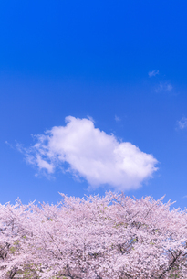 桜とわた雲の写真素材 [FYI01253222]