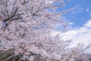 桜と雲の写真素材 [FYI01253223]