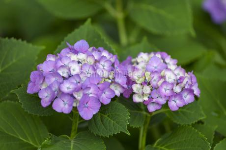 紫陽花の写真素材 [FYI01253224]