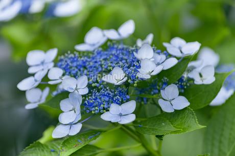 紫陽花の写真素材 [FYI01253227]