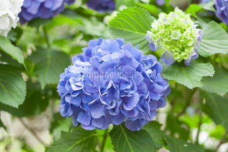 紫陽花の写真素材 [FYI01253229]