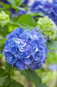 紫陽花の写真素材 [FYI01253231]