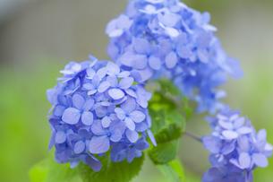 紫陽花の写真素材 [FYI01253232]