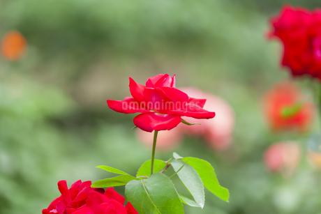 バラの花の写真素材 [FYI01253233]