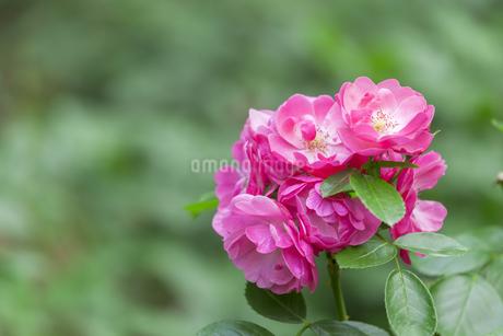 バラの花の写真素材 [FYI01253234]