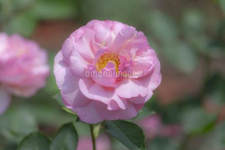 バラの花の写真素材 [FYI01253235]